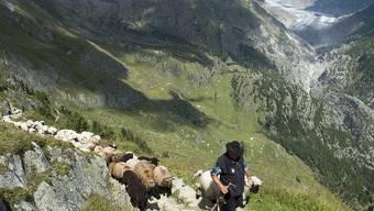 Eine Herde Schafe und ihr Schäfer unterwegs zur Belalp im Kanton Wallis; im Hintergrund der Aletschgletscher. Geht es nach dem Willen der FDP im Walliser Grossen Rat, erhält dieser Hirte bald viele neue Kollegen. Langzeitarbeitslose und Flüchtlinge sollen helfen, die Herden vor Wölfen zu schützen.