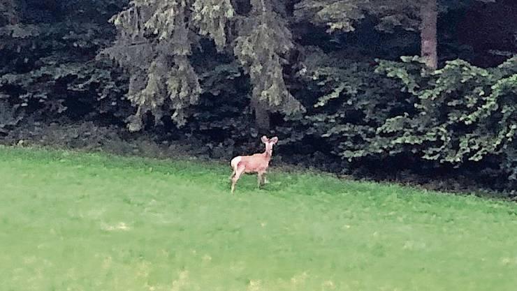 Der junge Hirsch am Wald zwischen Muhen und Hirschthal.