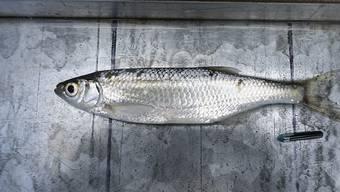 Fische wie diese Laube werden mit sogenannten Pit-Tags (unten rechts) markiert, um Fischtreppen zu testen. Der Funk-Chip wird in die Bauchhöhle des Fisches platziert.