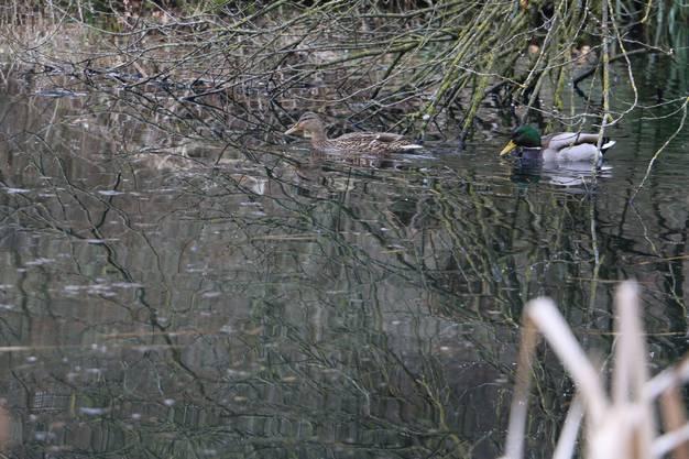 Noch können die Enten schwimmen: Treffen die Wetterprognosen zu, dann wird der Weiher in Hellikon in einigen Tagen zugefroren sein.