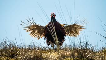Auch Wildvögel wie dieser Fasan sollen künftig schneller geschossen werden können.