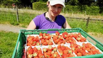 mmhh feine Erdbeeren frisch vom Feld