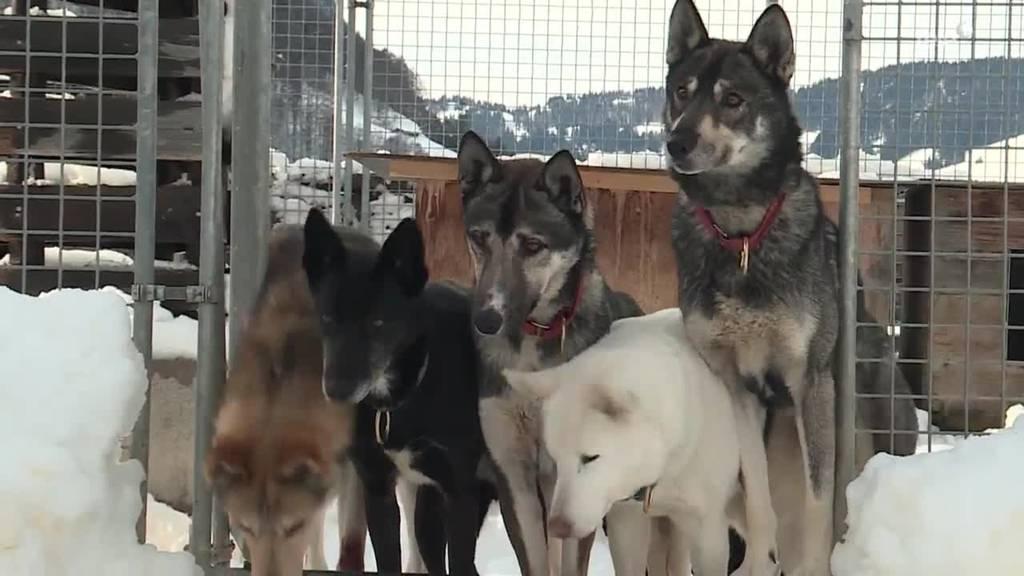 Erlebnis Schlittenhunde / Hunde im Winter
