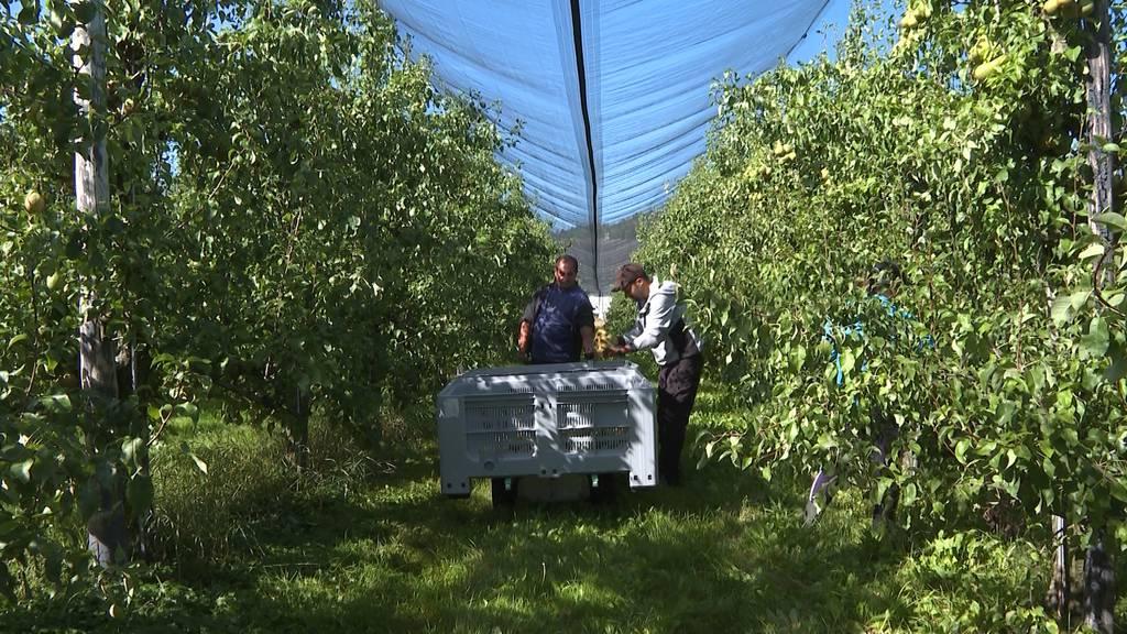 Bauern am Anschlag: Viel Obst — wenig Erntehelfer