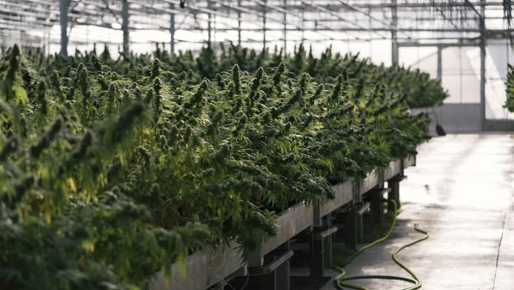 Innert Stunden sind sowohl im Stände- als auch im Nationalrat Mehrheiten erreicht worden, mit denen möglichst rasch Cannabis-Pilotprojekte ermöglicht werden sollen.