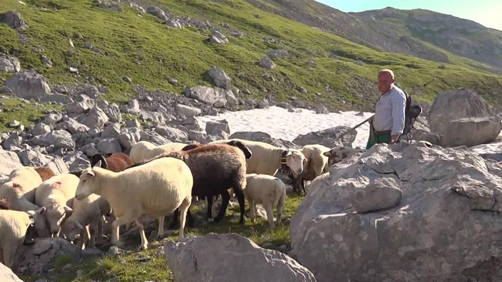 Ale Ulrich hält 1'000 Schafe zuhinterst im Muotathal