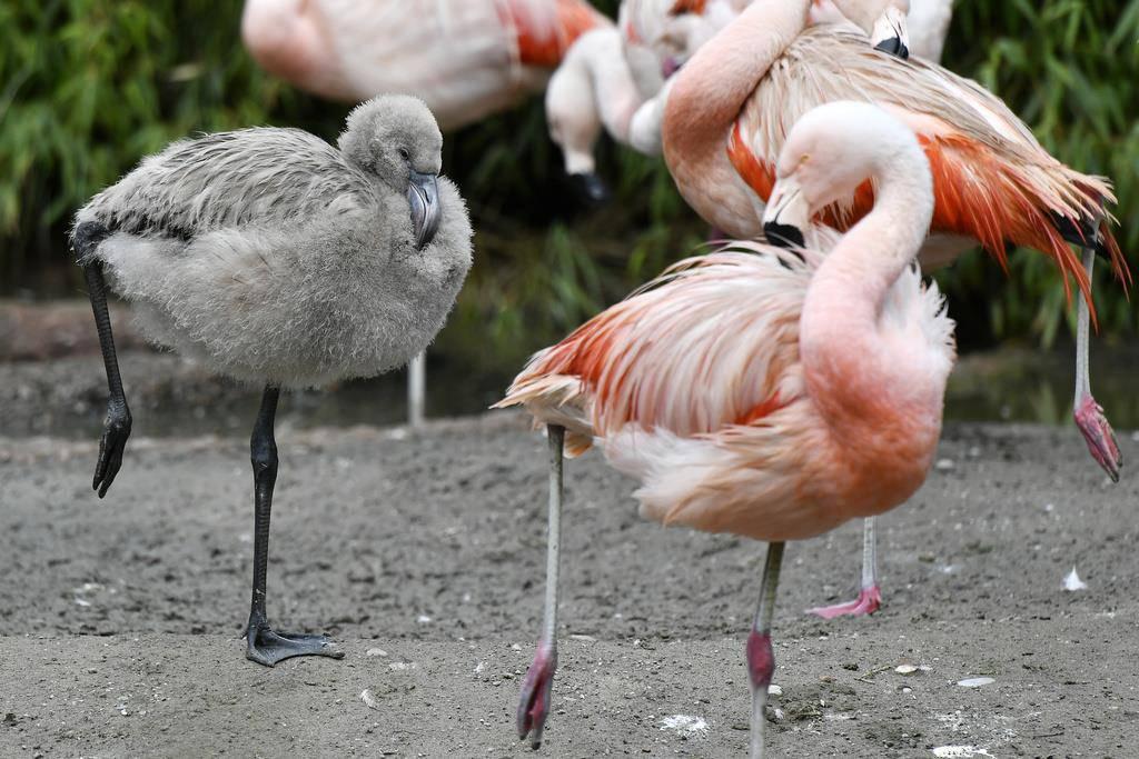 Der Zoo Zürich ist erfreut: Die Flamingokolonie befinde sich im Brutfieber. (© Keystone/Walter Bieri)