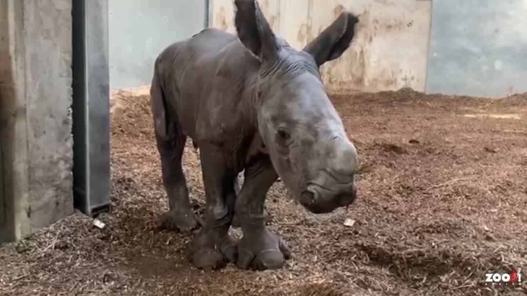 Nashornbaby im Zoo Zürich zur Welt gekommen