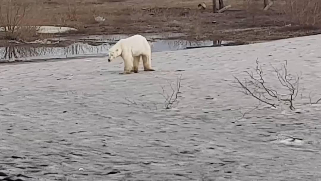 Ausgehungert: Eisbär auf Nahrungssuche in russischer Stadt