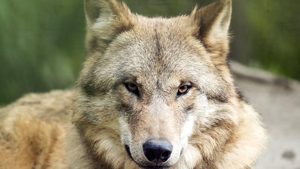 Umweltkommission will Ausbreitung des Wolfes rasch kontrollieren