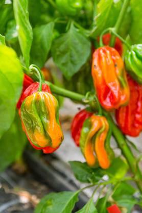 Hier im Bild: verschieden farbige Habanero-Chilis.