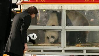 Pandas werden an Zoo von Brüssel ausgeliehen
