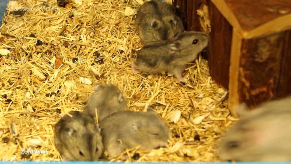 Elfköpfige Hamsterfamilie in Schwamendingen ausgesetzt