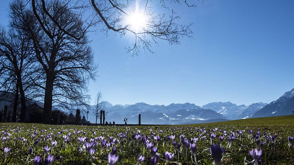 Frühlingserwachen mit Rekordtemperaturen im Februar: Krokusse im Schadaupark in Thun.
