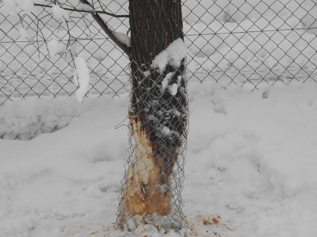 Dieses hat bereits mehrere Bäume angenagt und gefällt. (© FM1Today/Leserreporter)