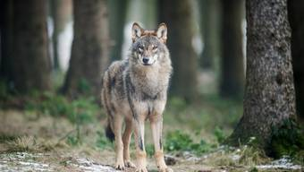 Alle Wölfe in der Schweiz sollen künftig mit einem GPS-Sender ausgestattet werden, fordert CVP-Nationalrat Thomas Egger.