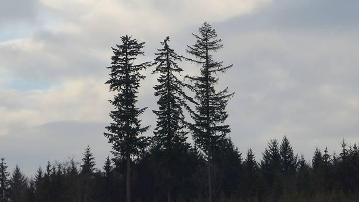 Douglasien im Lohner Wald.