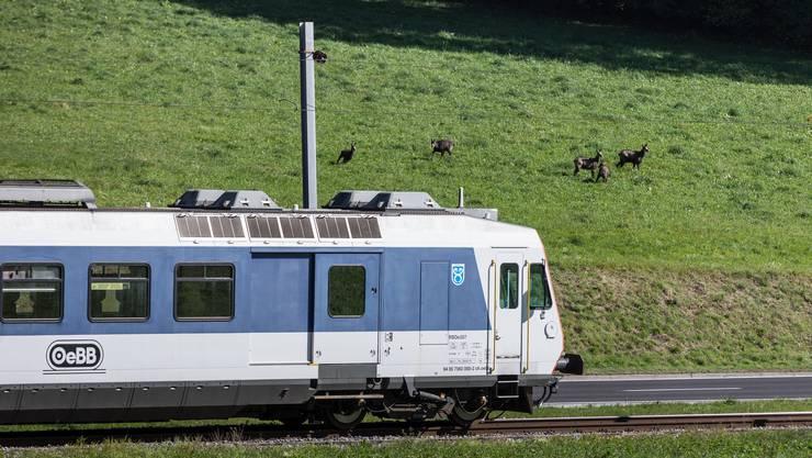 Gämsen kommen fast täglich zur Wiese nah an das Bahngeleise...