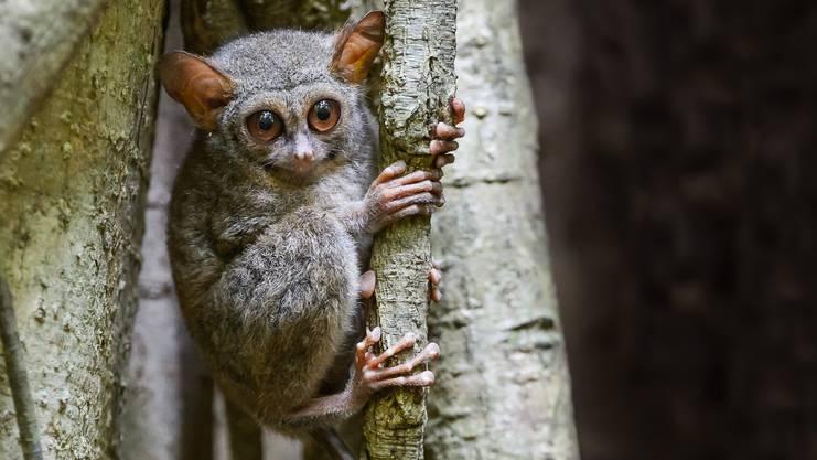 Ein neugieriger Kobold: Die putzigen Tiere haben eine Körpergrösse von etwa zehn bis fünfzehn Zentimetern.