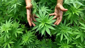 Cannabis besänftigt die Konsumenten und erregt die Politiker.