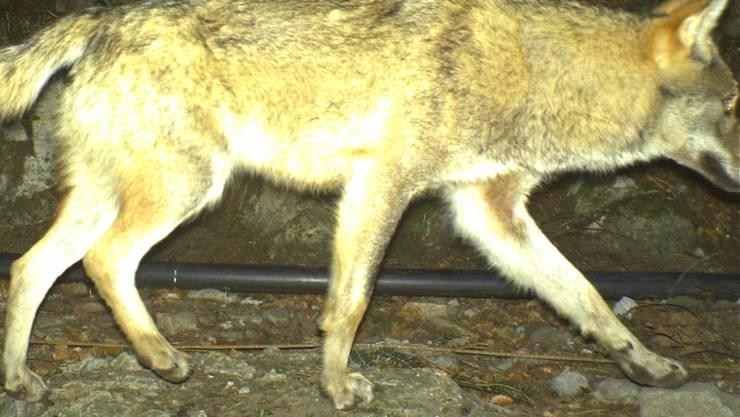 Lebt als Trophäe weiter: Der Urner Wolf, der im April 2016 bei Seelisberg in eine Fotofalle getappt und im Juli erlegt worden ist, wird ausgestopft.