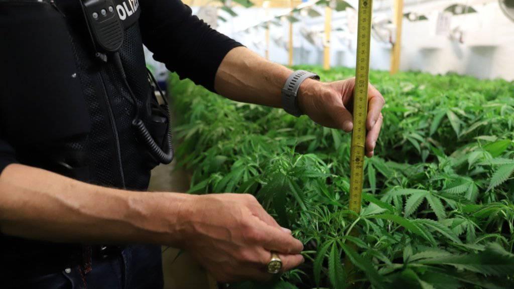 Die Hanfplantage in Hünenberg ZG ist eine von drei Anlagen, die die Polizei im Rahmen einer Razzia stilllegte.