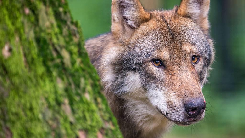 Gerissene Schafe im Kanton Schwyz: Wolf als Täter bestätigt