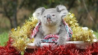 Verlierende Tierart: Zahlreiche Koalas sind in diesem Jahr durch die verheerenden Buschbrände in Australien ums Leben gekommen. (Symbolbild)