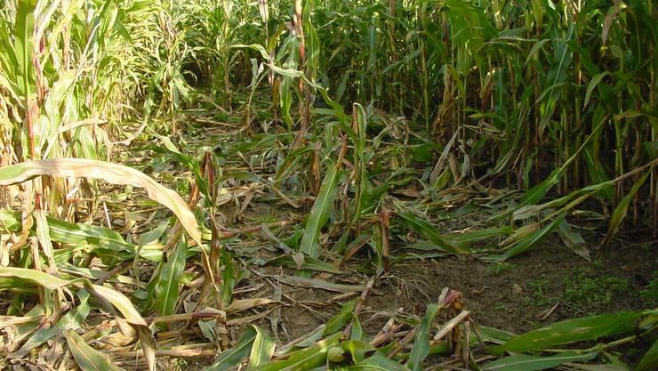 Schäden von Wildschweinen in einem Maisfeld