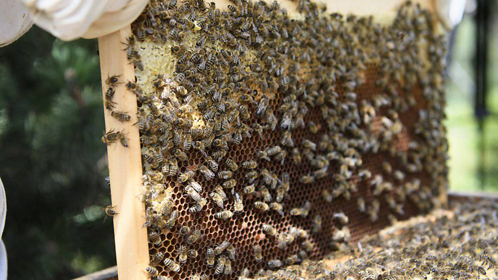 Waren Bienen mit einem für sie gesundheitsschädlichen Insektizid in Kontakt? Das ist für Imker oft erst zu erkennen, wenn es zu spät ist. Forschende arbeiten daher an einem Früherkennungstest. (Archivbild)