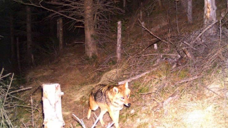 Grösser als ein Fuchs und kleiner als ein Wolf: Ein Goldschakal, aufgenommen von einer Fotofalle in der Surselva im Bündner Oberland am 27. Dezember 2015.