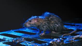 Die Wanderratte (Rattus norvegicus) mag für viele Leute niedlich ausschauen. Sie kann aber ernste Krankheiten übertragen.