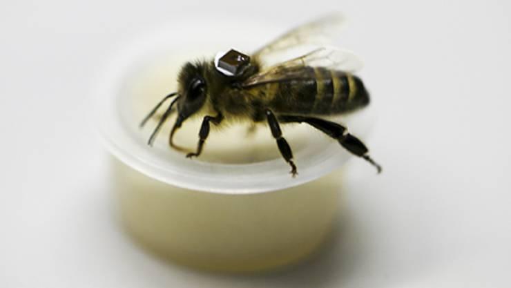Der Rückenpanzer mit dem RFID-Chip ist etwa 4,5 Milligramm schwer. Er dient dazu, die Flugbewegungen der Biene nach dem Essen von pestizidbelastetem Futter zu verfolgen.
