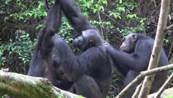 Das Verhaltensrepertoire der Schimpansen schrumpft durch den Einfluss des Menschen. Nicht nur ihr Lebensraum, sondern auch ihre Kultur sind in Gefahr, warnen Forschende.