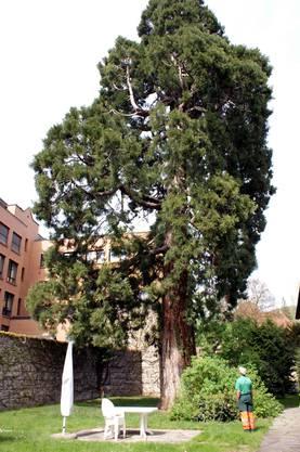 Stadtförster steht vor dem dicksten Baum von Baden