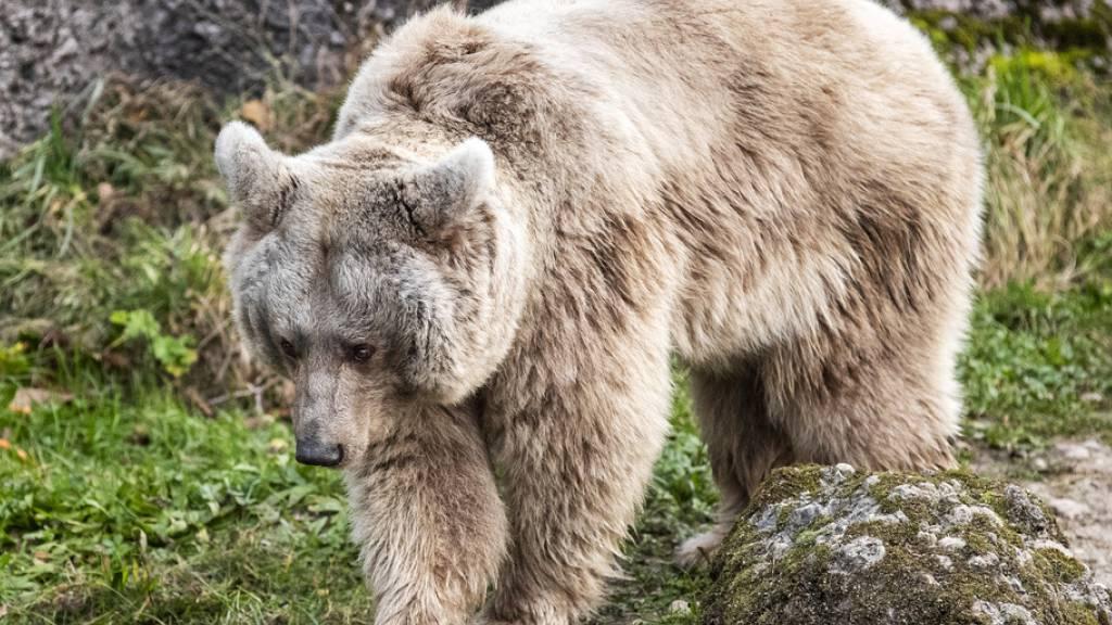 Warum dicke Bären keine Herz-Kreislaufprobleme bekommen