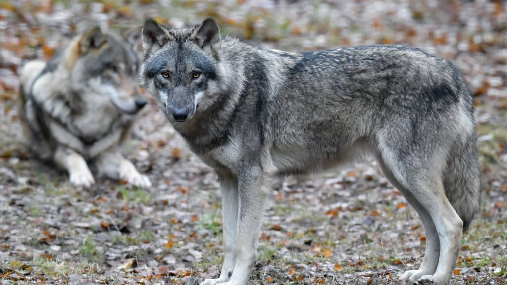 Junger Wolf in Graubünden erlegt