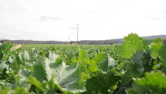 Überdüngte Gebiete machen Pflanzen, die an eine nährstoffarme Umgebung gewöhnt sind, das Leben schwer. (Symbolbild)