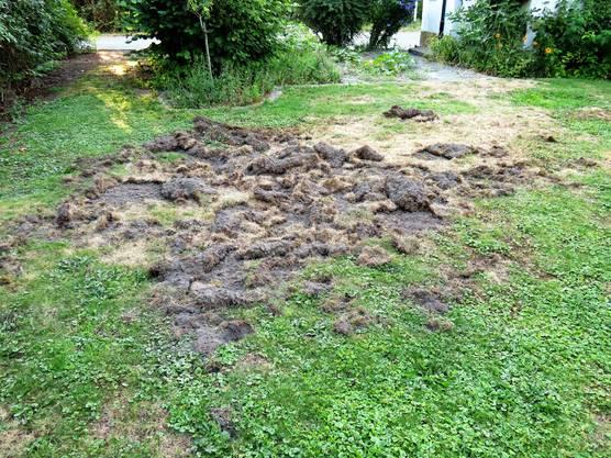 Rund fünf mal vier Meter Rasen wurden auf der Suche nach Engerlingen umgepflügt.