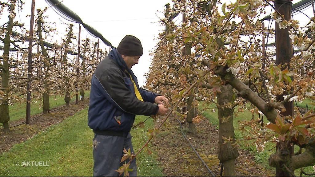 Weitere Frostnächte stehen uns bevor: Obstbauern müssen zittern