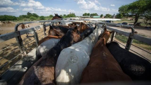 Diese Pferde harren während 18 Stunden ohne Schutz vor Hitze oder Unwetter aus. Im stark überfüllten Lastwagen legen sie 995 Kilometer bis zum Schlachthof Lamar bei Buenos Aires zurück. Foto: Tierschutzbund Zürich