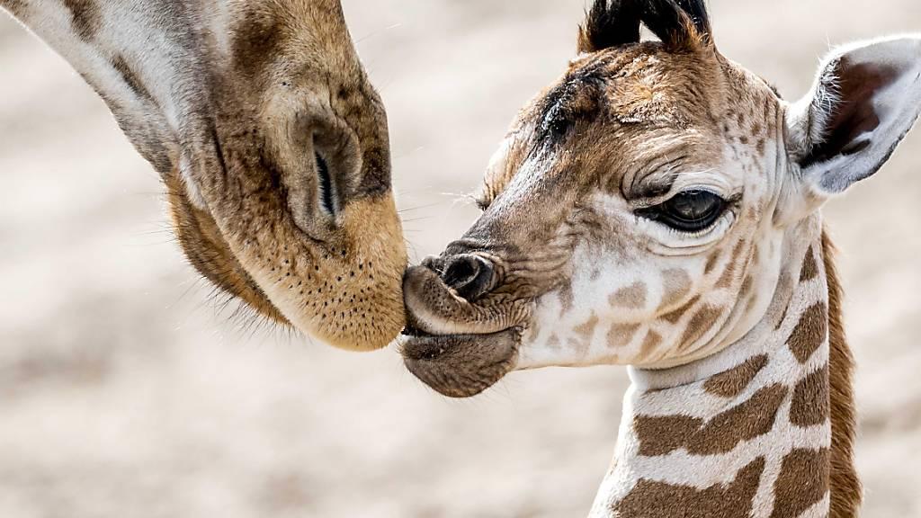 Mit dem Familiensinn halten es Giraffen fast so wie Elefanten
