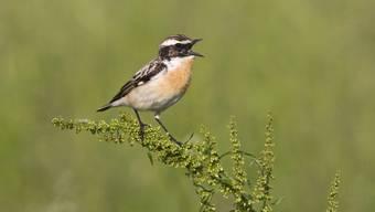 In den vergangenen 25 Jahren ging der Bestand typischer Vogelarten des Kulturlands wie das Braunkehlchen stark zurück.