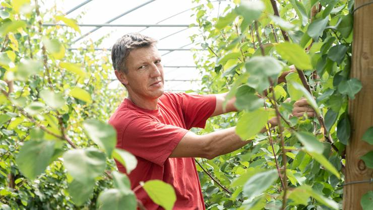 Die schnellsten Bäume wachsen bereits dem Dach entlang: Urs Baur im Aprikosen-Dickicht.
