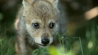 Die Geburt von mindestens drei Wolfswelpen ist im Waadtländer Jura festgestellt worden. (Archivbild)