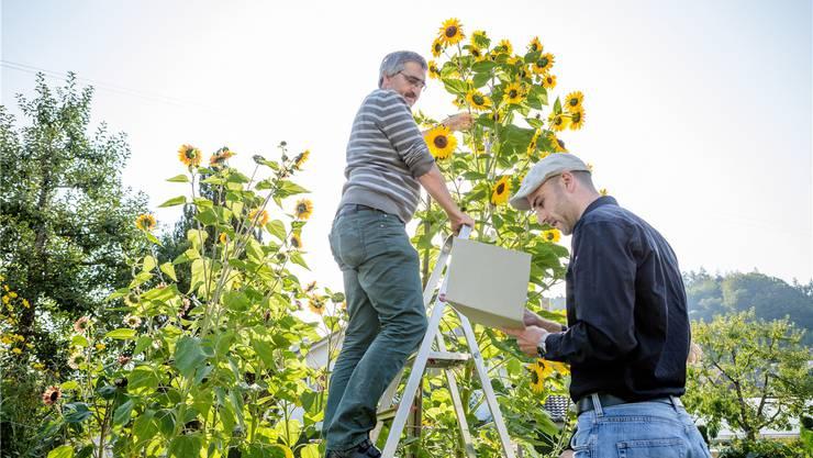 Ammann Hanspeter Gehrig muss auf die Leiter klettern, um alle Blüten an jedem Zweig zählen zu können. Marc Maurer protokolliert das Ergebnis. Sandra Ardizzone