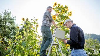 Weltrekord: Im Garten der Familie Maurer in Ammerswil steht die Sonnenblume mit