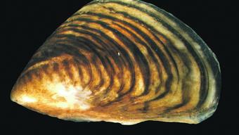 Die Quagga-Muschel ist nur drei Zentimeter lang, kann aber massenhaft auftreten und die für die Entnahme von Trinkwasser in Flüsse und Seen eingelegten Rohre verstopfen.