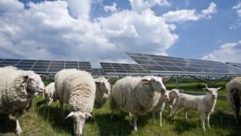Im August ist es auch in Payerne VD so weit: Schafe «mähen» das Gras unter Solarmodulen.