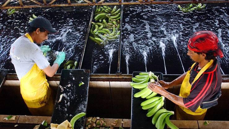Angestellte einer Plantage in Puerto Rico verpacken Bananen.